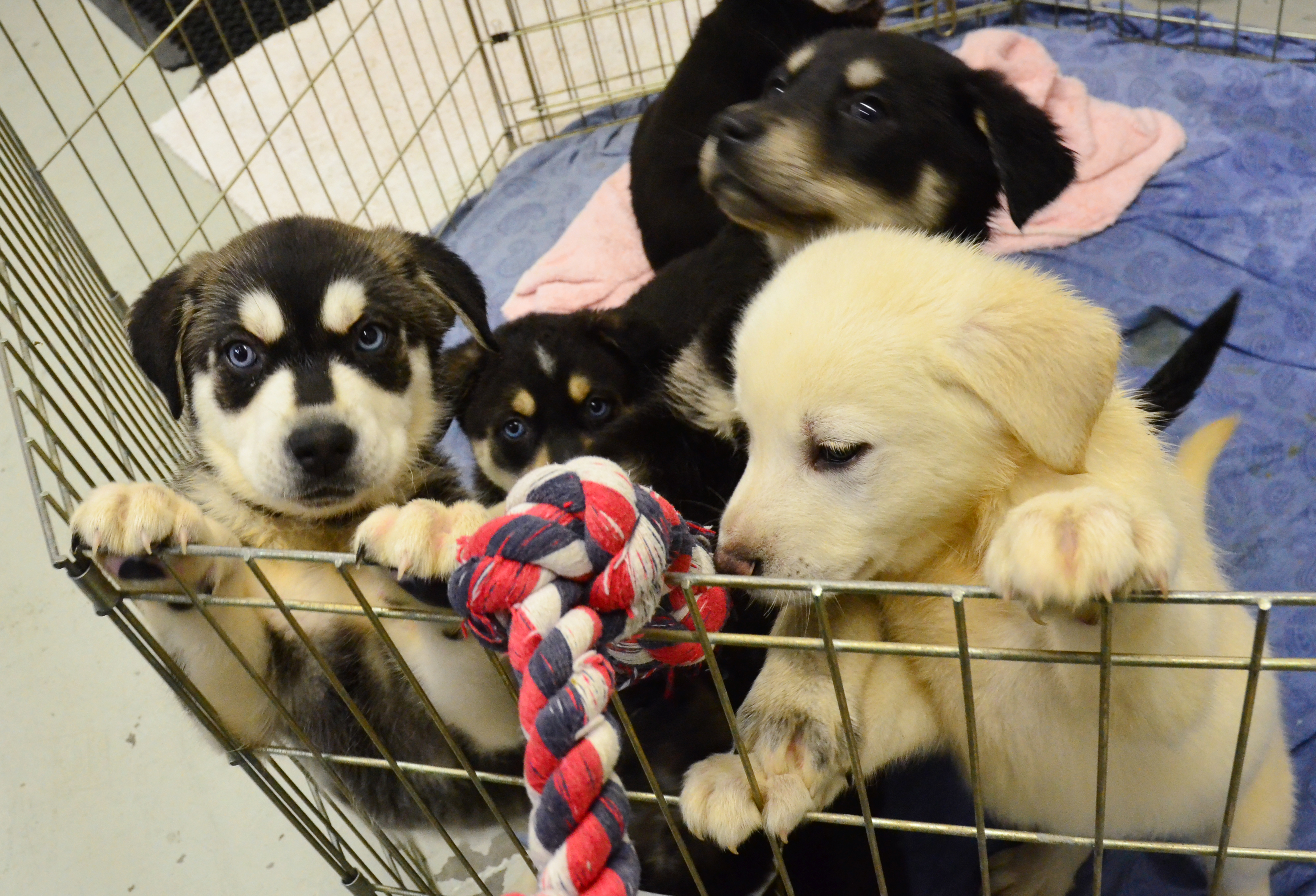essays on puppies The dog is a domestic pet animal everybody likes to keep it in their home it helps humankind so much in various fieldswe have provided the essay on the dog in different word limitsyou can select any according to your necessity.