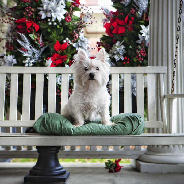 Dixie, a West Highland White Terrier, in Memphis, Tennessee