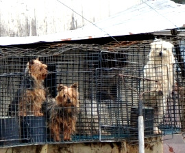 Controversial issues on puppy mills?....?