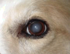 Why Does My Dog Have Cloudy Eyes