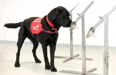 Covid-19 Detection Dogs in Training