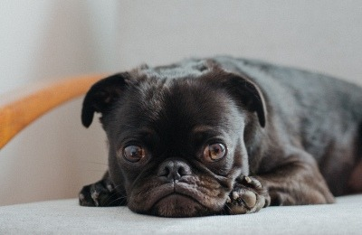 Black Pug Dog Waiting