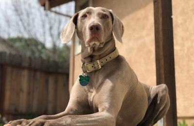 Safire of Nor-Cal Weimaraner Rescue