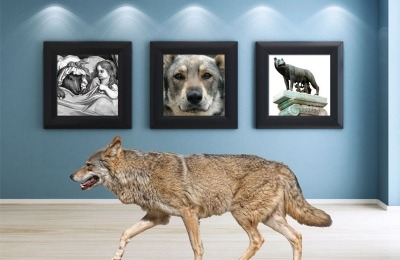 Wolfdog (Wolf/Dog Hybrid) don't always make good pets