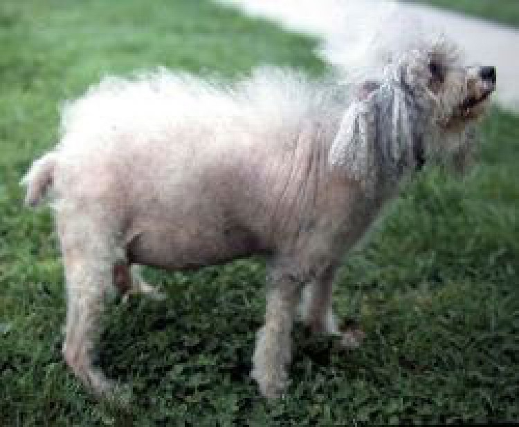Hyperadrenocorticism or Cushing's Disease in Dogs: | The Bark