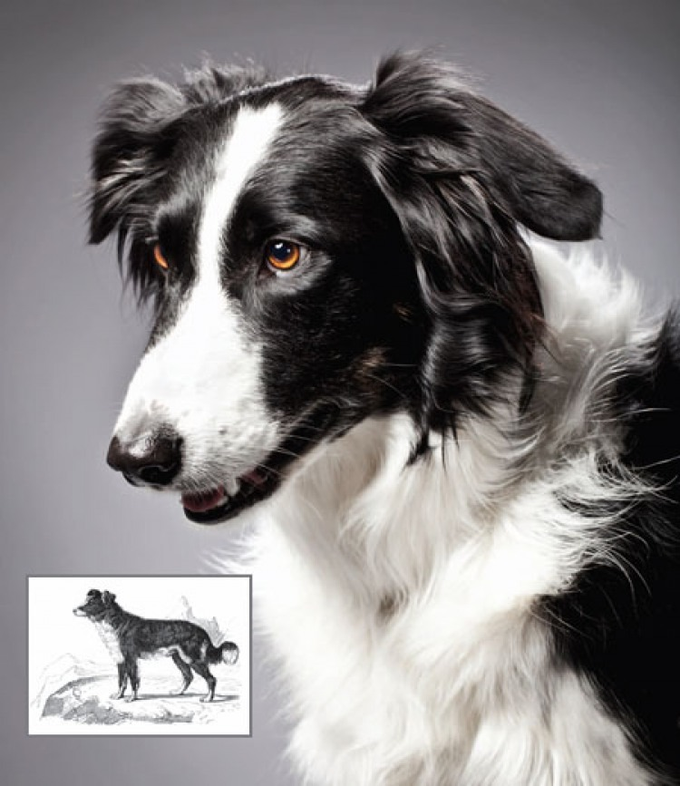 Border Collie current and past