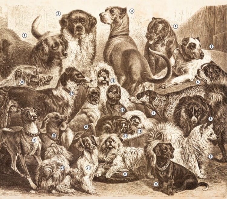 1. Newfoundland 2. St. Bernard 3. Great Dane 4. English Mastiff 5. Ulmer Mastiff 6. Boxer 7. German Shorthair Pointer 8. German Shepherd Dog 9. Spitz 10. Dachshund 11. Shaggy Pinscher 12. Spaniel (King Charles) 13. Seidenspitz 14. Affenpinscher 15. Pug 16. Poodle 17. Russian Wolfhound 18. Scottish Deerhound 19. Italian Greyhound 20. Hairless Dog 21. German Spaniel 22. Bolognese