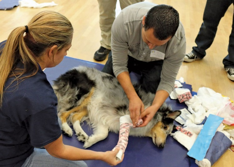 During the program's hands-on sessions, handlers practice splinting, bandaging and wound management on canine volunteers.