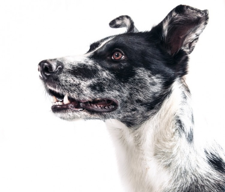7 Amazing Facts About a Dog's Ears | The Bark