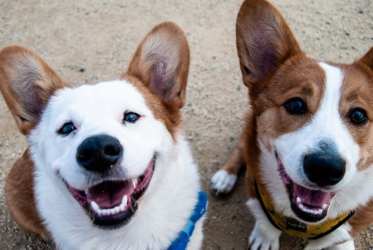 Dog - Corgi Photo by anya potsiadlo on Unsplash