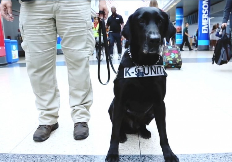 Doc is a Labrador, former Marine who works for the TSA at Chicago O'Hare Airport. (Image courtesy of U.S. Transportation Security Administration)
