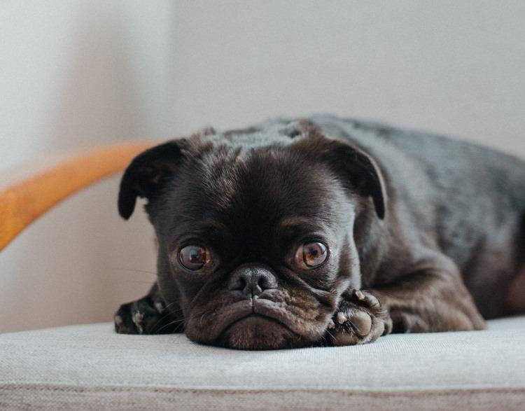 Black Pug Dog Waiting