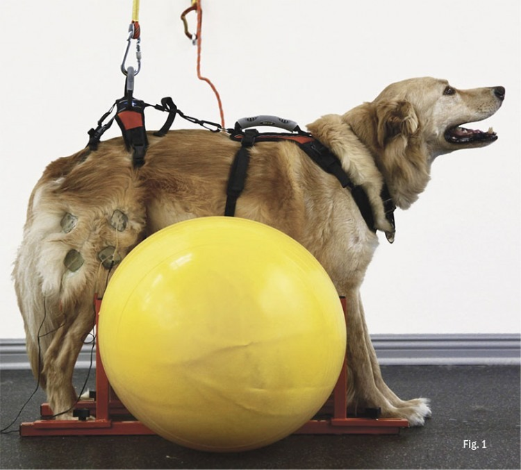 First we supported the dog in a standing position over a balance ball and used an electrical muscle stimulation device