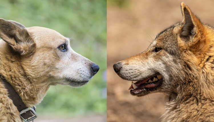 wolf compared to dog