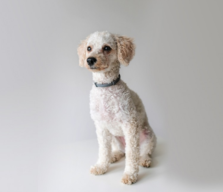 small hypoallergenic dog - poodle breed
