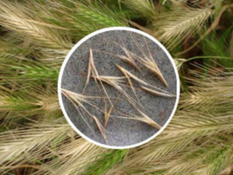 Foxtails Can Pose Serious Risks to Dogs | The Bark