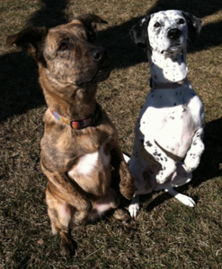 dutch shepherd dalmatian rescue trick gopher sit pretty beg