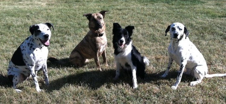 Dalmatian Dutch Shepherd dog training rescue obedience