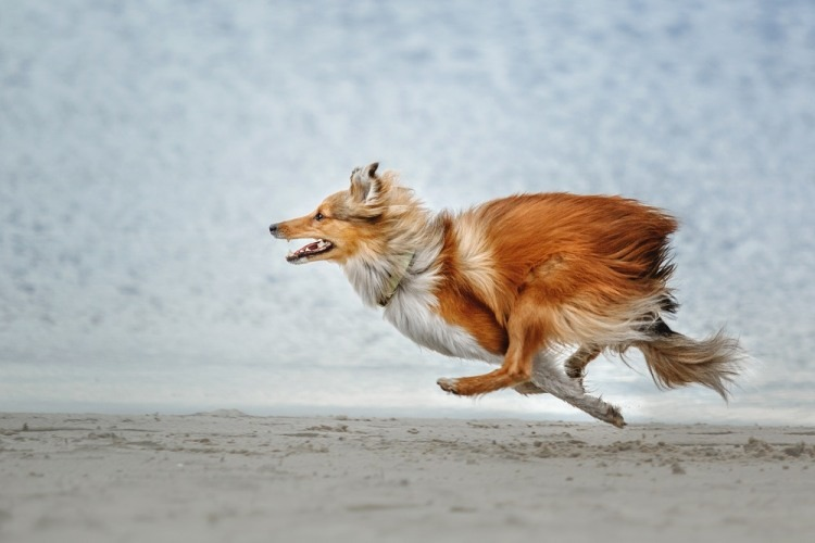 dog running, photo credit: shutterstock