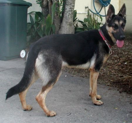 german shepherd dog foster breed rescue help shelter adoption fee
