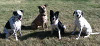 Dalmatian Dutch Shepherd dog training obedience