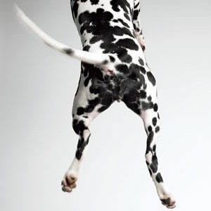 Dalmation Jumping by Amanda Jones