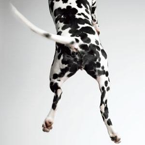 Dalmation Jumping by Amanda Jones