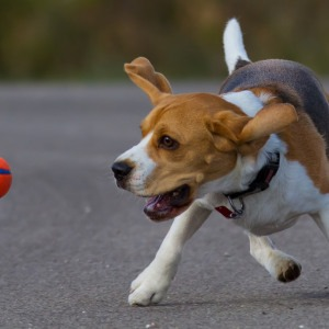 Beagle Dog Fetching Toy - Learning to Fetch