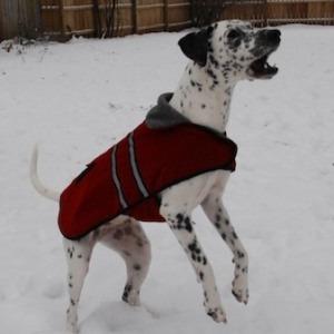 dog, bark, Dalmatian