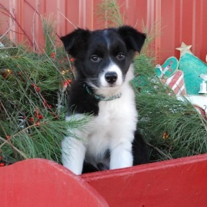 border collie puppy holiday portrait photographer Brian Lane