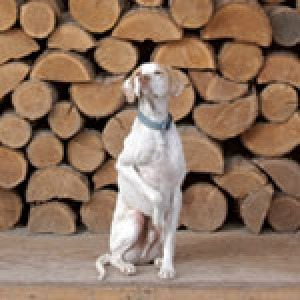 Tyler, an English Pointer, in the woodshed behind Widget's House.