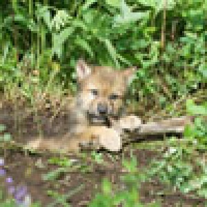 Wolf pup chewing on some carbs