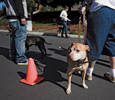 A BAD RAP Pit Bull training class.